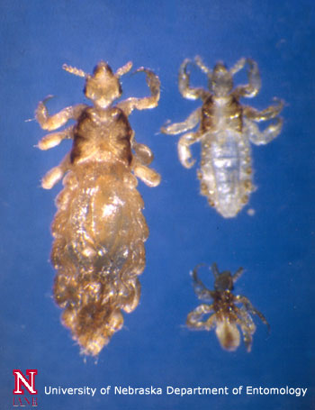 A family of lice.